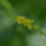 Agrimony, Floral de Bach