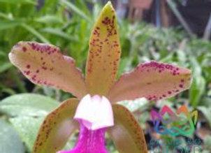 """Cattleya tenuis """"Bahia"""""""