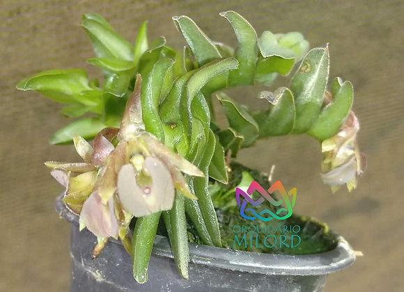 Epidendrum uleinanodes