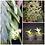 Thumbnail: Epidendrum vesicatum