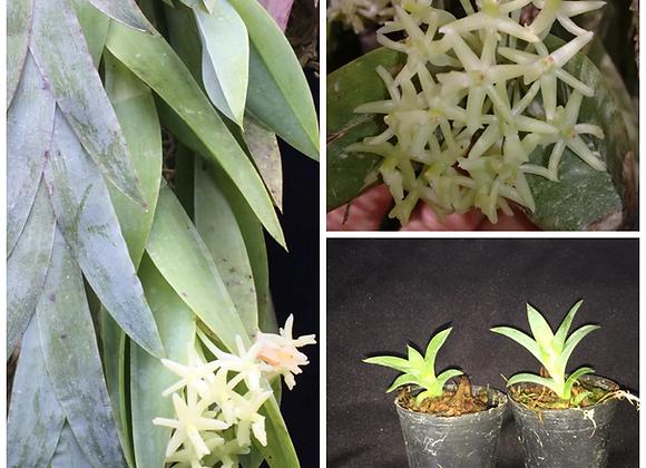 Epidendrum vesicatum