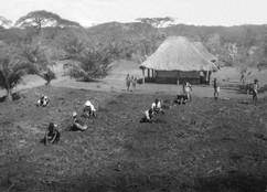Plantation de caféiers à Kurukwata 1939