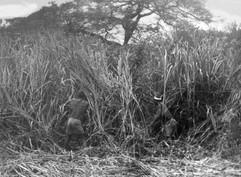 Débrouissaillement à la plantation de café de Kurukwata 1931