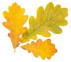 Autumn-Oak-Leaves.jpg