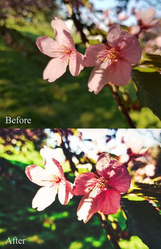 Cherry Blossoms Roihuvuori Helsinki