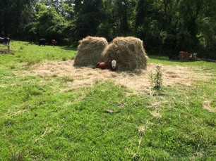 Young calf relaxing in some hay