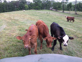 Young cows are curious