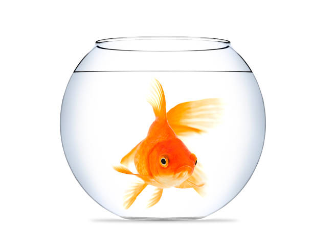 Image result for gold fish in bowl