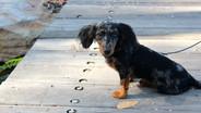 Winnie the mini Dachshund