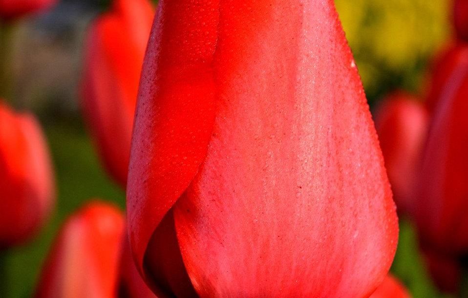Tulip-Red-Impression_x2000_crop_center.j