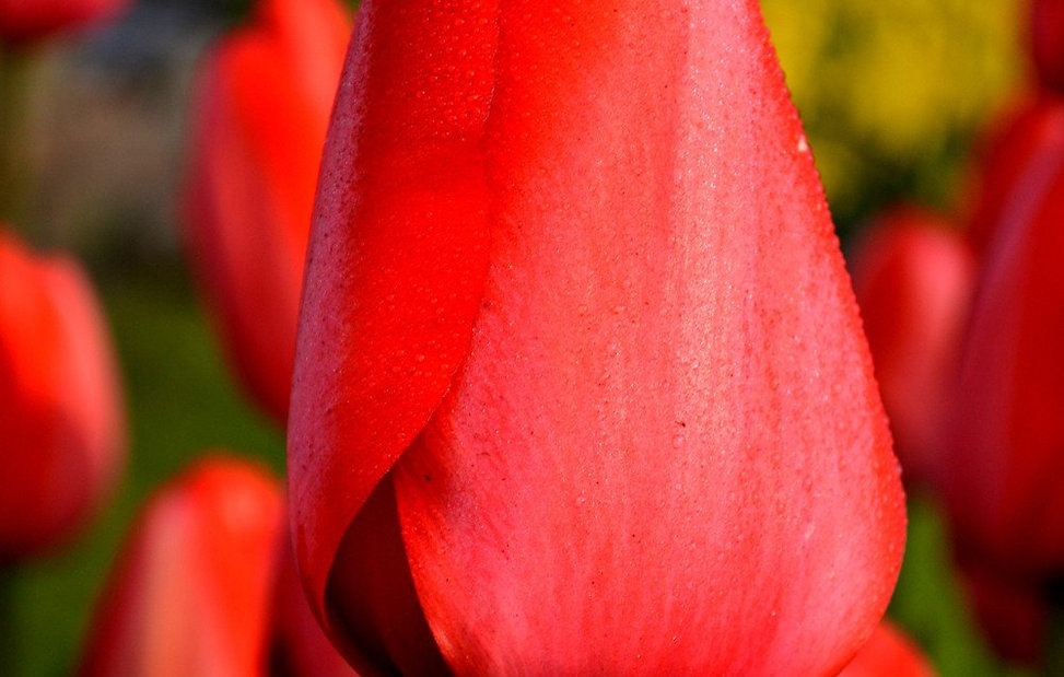 Tulip-Red-Impression_x2000_crop_center.j