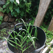 Garlleg/Garlic