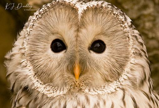Ural Owl.jpg
