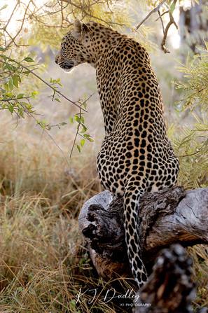 Leopardess 1