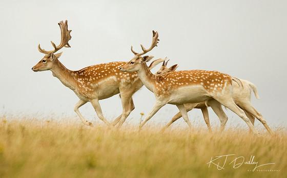 Fallow Deer .jpg