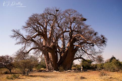 Boabab -Botswana
