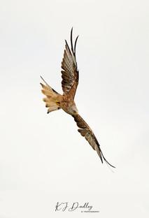 Red Kite 1.jpg