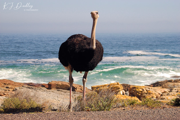 Cape of Good Hope ostrich.jpg