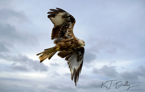 Red kite 5.jpg