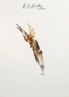 Red Kite 3.jpg