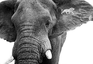 """ Tusker "" A3 black and white Giclee print"