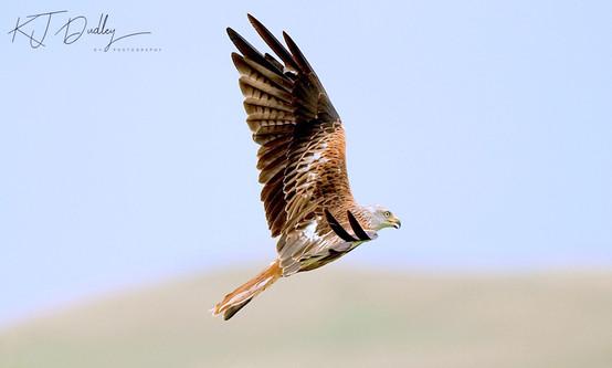 Red Kite 4.jpg