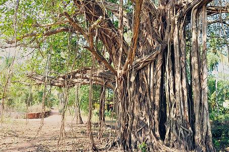 tree-Banyan-roots-India.jpg
