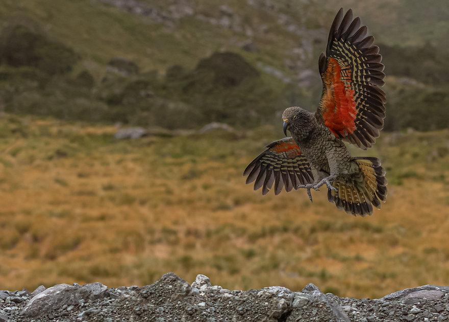 a Kea mountain parrot in flight..jpg