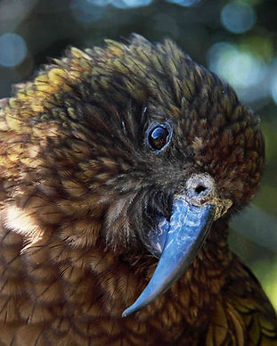 TC the kea.jpg