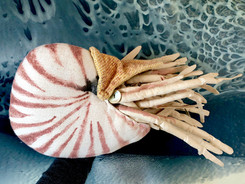 The Nautilus: Cuddling with a Cephalopod