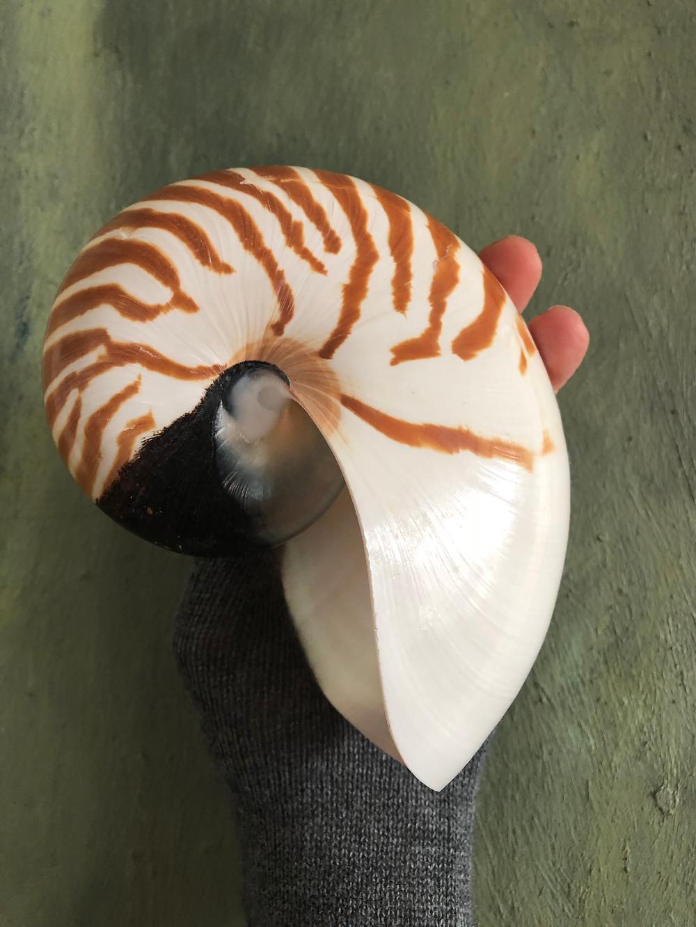 a natural chambered nautilus shell