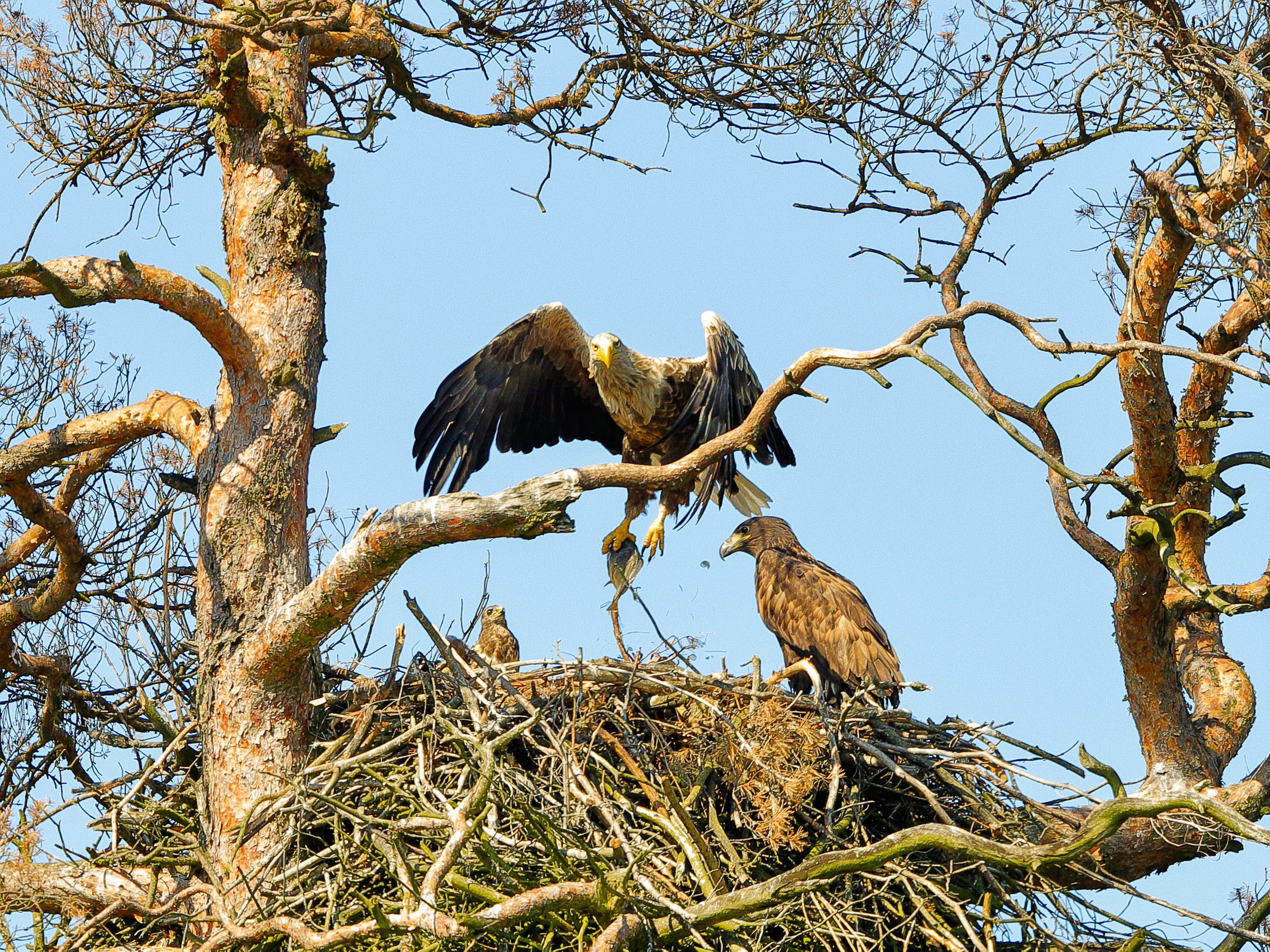 Eagles and Ospreys and Imbolic ~ By Ann Dolbier