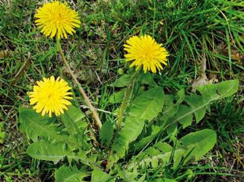 Pissenlit  (feuilles) BIO