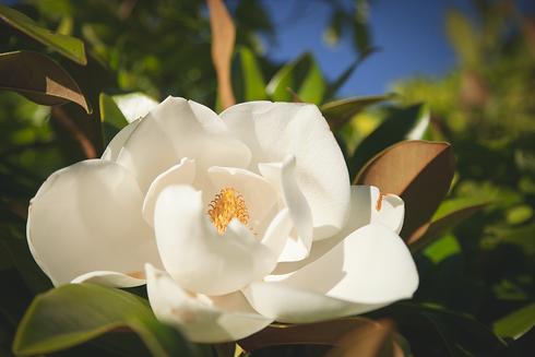 Grandiflora Magnolia 05.png