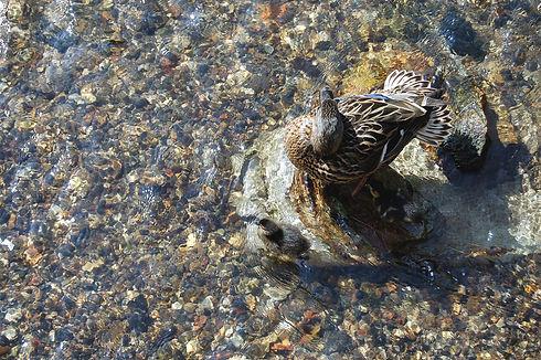 Mallard (Anas strepera)2.jpg
