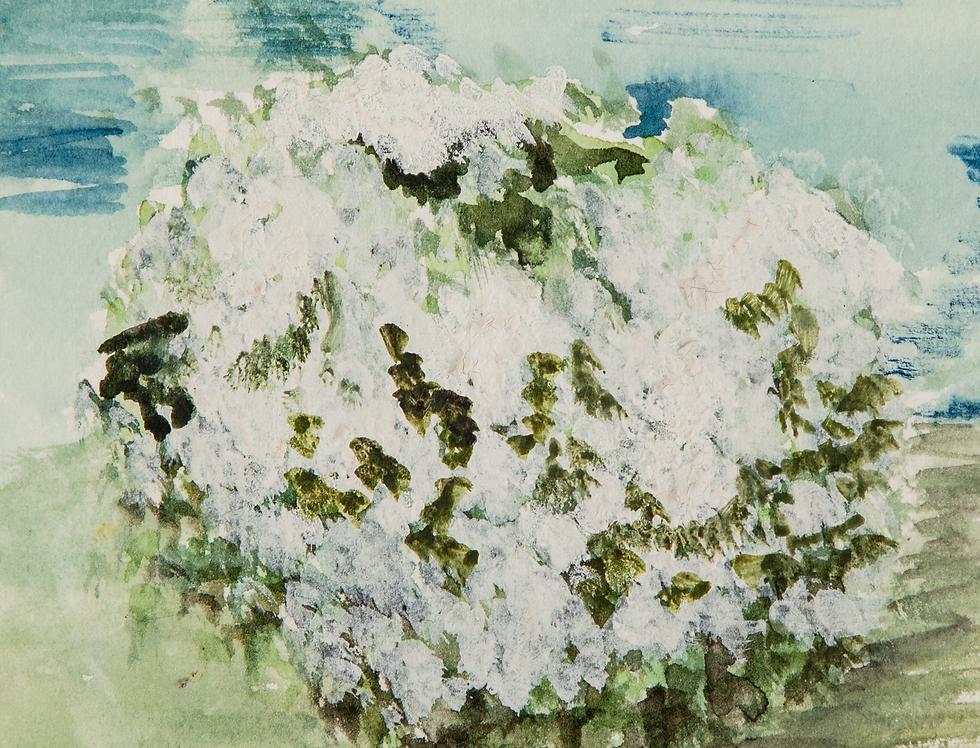 White Hawthorne