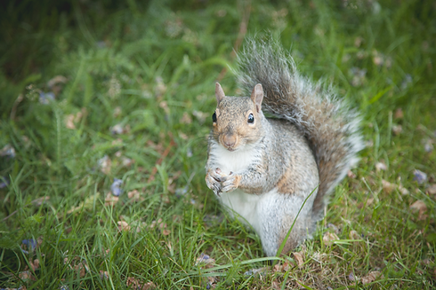 Squirrel 02.png