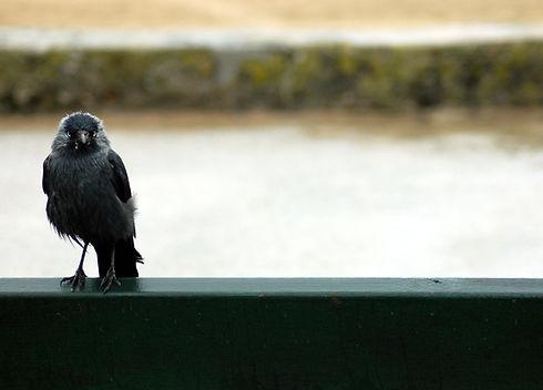 Jackdaw (Corvus monedula).jpg