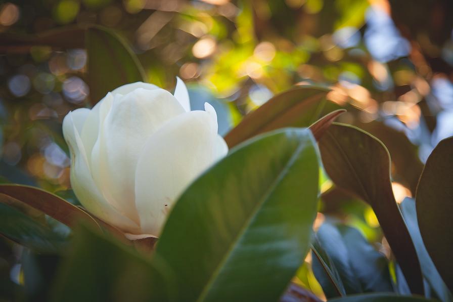 Grandiflora Magnolia 06.png
