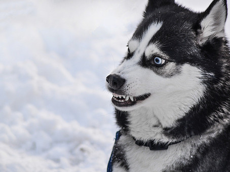 Mon chien grogne! Que faire?