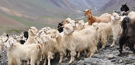 white goats angle - Flickr_Jelle Visser.