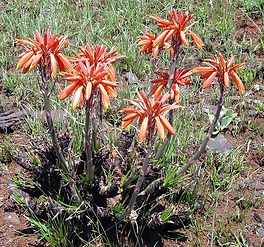 Aloe chortolirioides var. woolliana