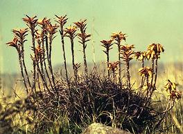 Aloe chortolirioides var. woolliana clump