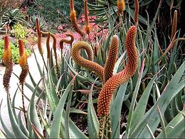Aloe castanea