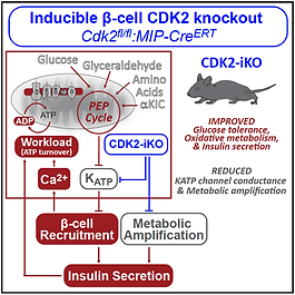 CDK2 Sdao graphical abstract.PNG