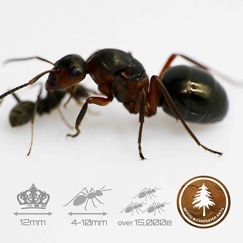 Formica Rufa - Red Wood Ant