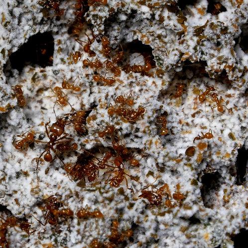 Atta Mexicana/Cephalotes Donor Fungus