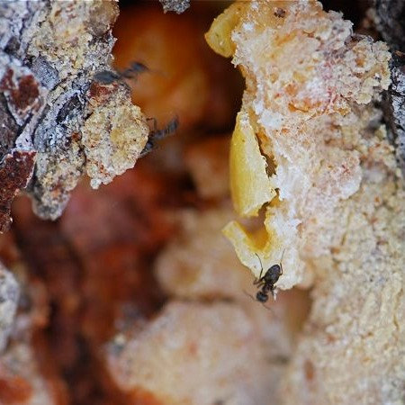 Organic Pine Tree Resin 5g
