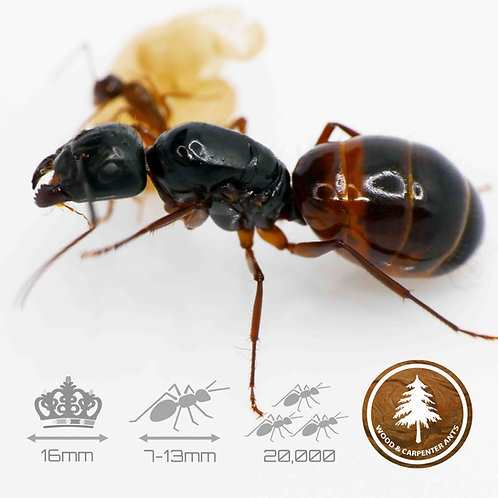 Camponotus Americanus - Carpenter