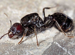 queen-of-messor-barbarus-ants-free-antho